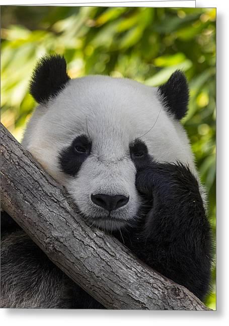 Giant Panda Greeting Card by San Diego Zoo