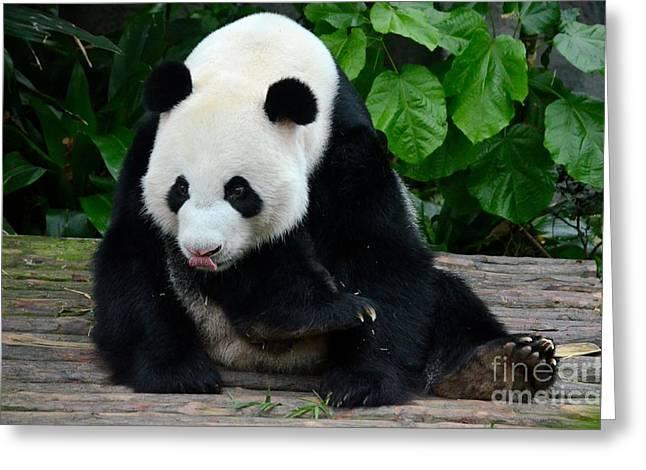 Giant Panda With Tongue Touching Nose At River Safari Zoo Singapore Greeting Card