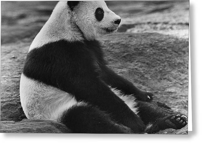 Giant Panda Greeting Card by Ylla