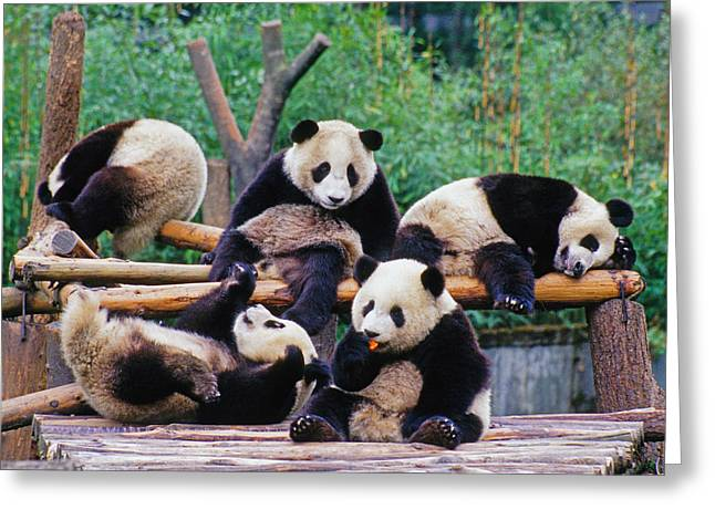 Greeting Card featuring the photograph Giant Pandas by Dennis Cox ChinaStock