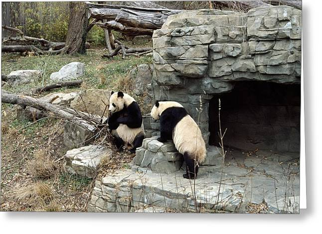 Giant Pandas In Captivity Greeting Card by Science Photo Library