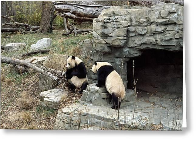 Giant Pandas In Captivity Greeting Card