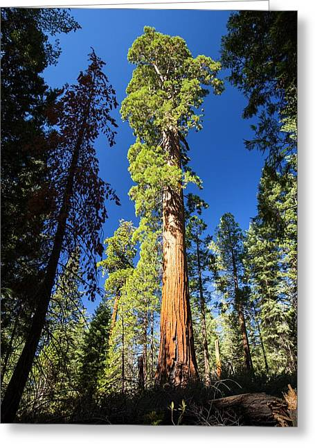 Giant Redwood Greeting Card by Ashley Cooper