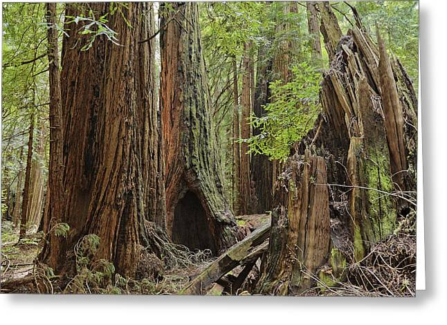 Giant Redwoods Muir Woods Greeting Card