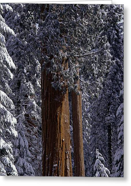 Giant Sequoia Tree Covered In Fresh Greeting Card