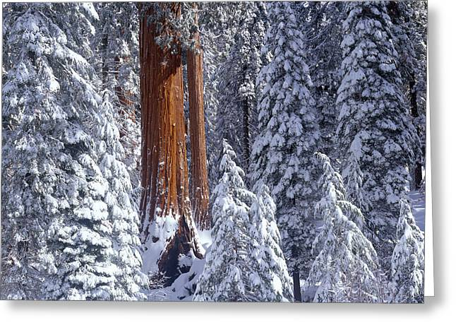 Giant Sequoia Trees Sequoiadendron Greeting Card by Panoramic Images