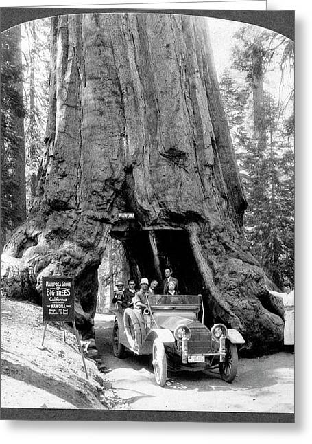 Giant Sequoia 'wawona' Tree Greeting Card