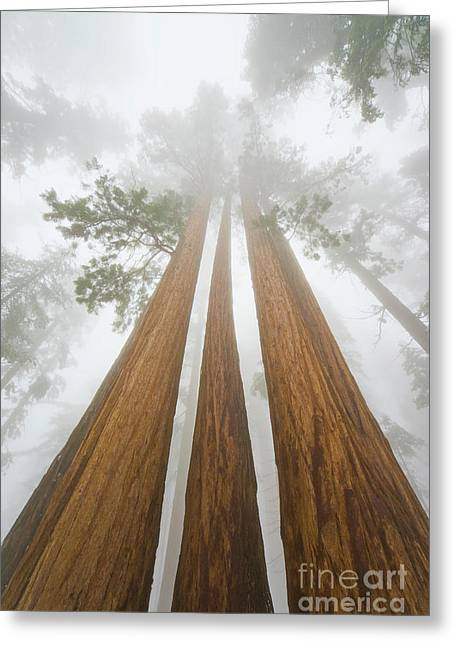 Giant Sequoias In The Fog  Greeting Card