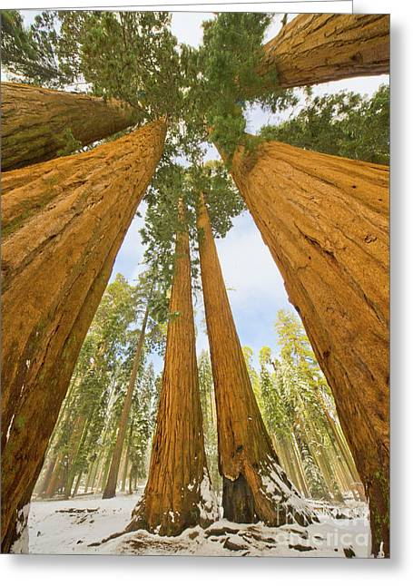 Giant Sequoias And First Snow Greeting Card