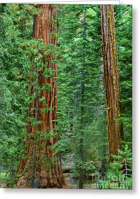 Giant Sequoias Sequoiadendron Gigantium Yosemite Np Ca Greeting Card by Dave Welling