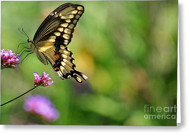 Giant Swallowtail Butterfly Greeting Card by Karen Adams