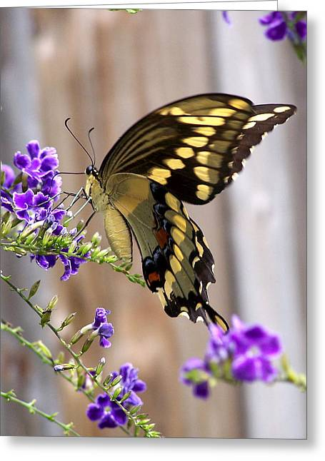 Giant Swallowtail On Goldendewdrop 1 Greeting Card