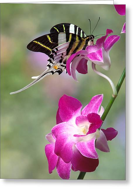Giant Swordtail Butterfly Graphium Androcles On Orchid Greeting Card by Robert Jensen