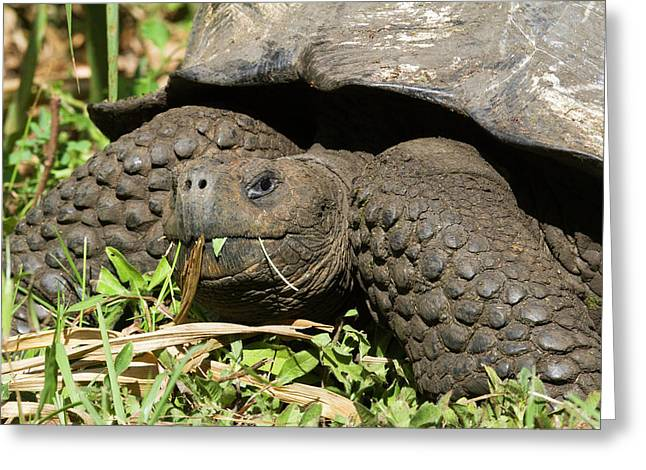 Giant Tortoise At El Rancho Manzanillo Greeting Card