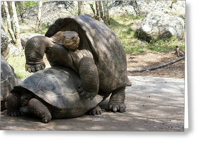 Giant Tortoises With Mating Behavior Greeting Card by Diane Johnson