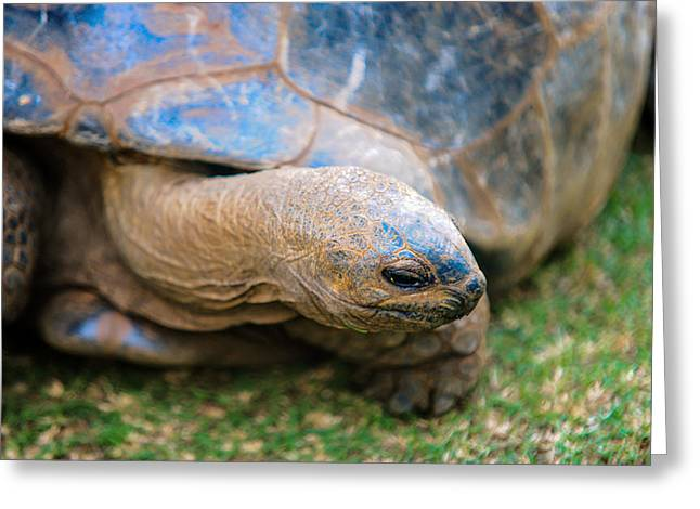 Giant Turtle In The Pamplemousse Botanical Garden. Mauritius Greeting Card