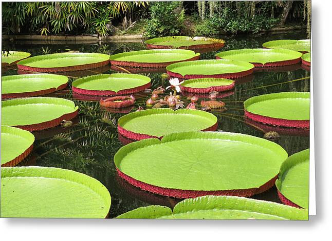 Giant Water Lily Platters Greeting Card by Zina Stromberg