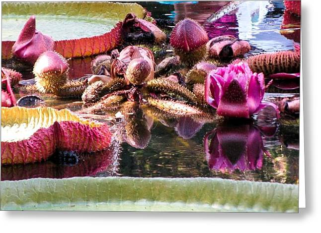 Giant Water Lily Greeting Card by Zina Stromberg