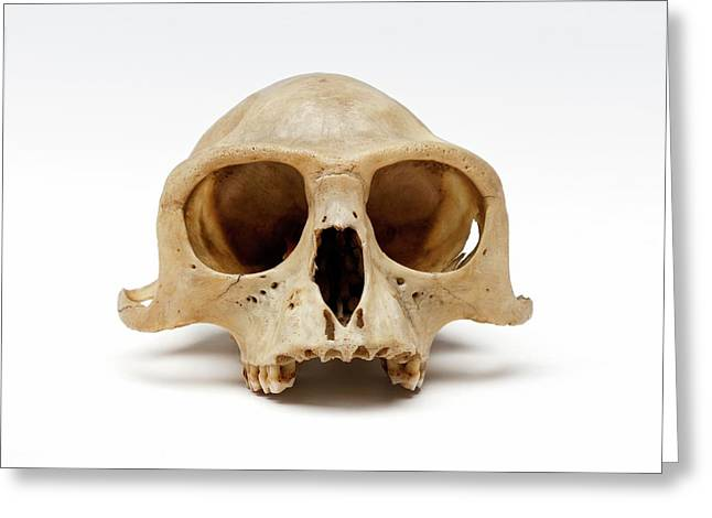 Gibbon Skull Greeting Card by Ucl, Grant Museum Of Zoology