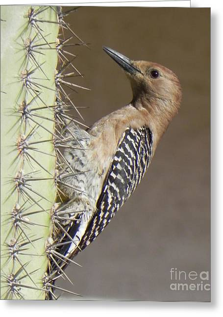 Greeting Card featuring the photograph Gila Woodpecker by Deb Halloran