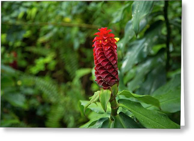 Ginger Flower, Waipio Valley, Hamakua Greeting Card