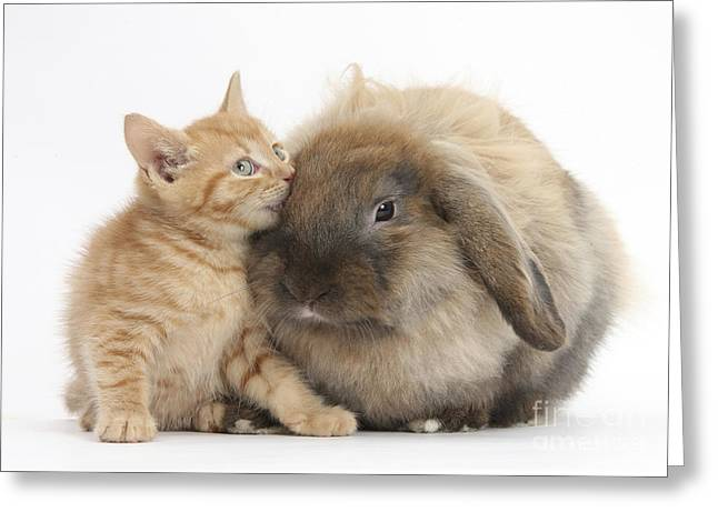 Ginger Kitten And Lionhead-lop Rabbit Greeting Card by Mark Taylor