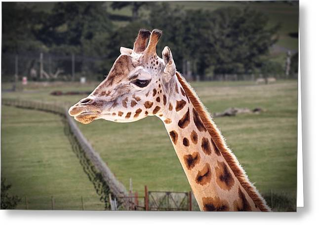 Giraffe 02 Greeting Card