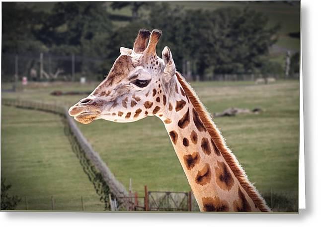 Giraffe 02 Greeting Card