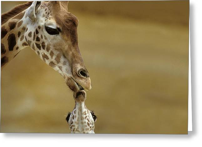 Giraffe And Young Greeting Card by Jean-Michel Labat