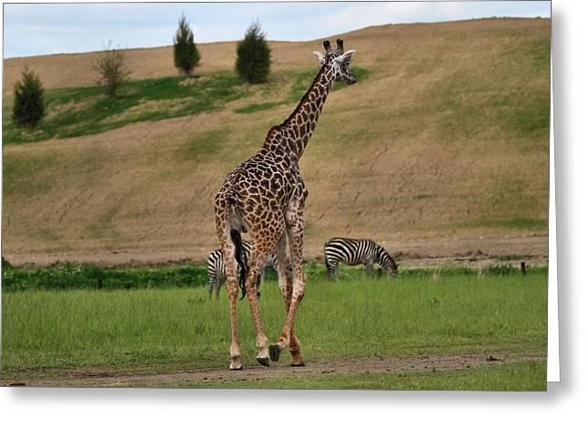 Giraffe And Zebra Greeting Card
