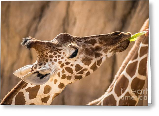 Giraffe Being Hand Fed Greeting Card by Imagery by Charly