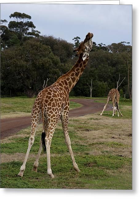 Giraffe Dance Greeting Card by Graham Palmer