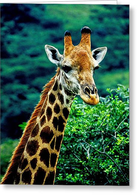 Greeting Card featuring the photograph Giraffe by Dennis Cox WorldViews