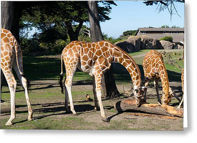 Giraffe Dsc2872 Long Greeting Card by Wingsdomain Art and Photography