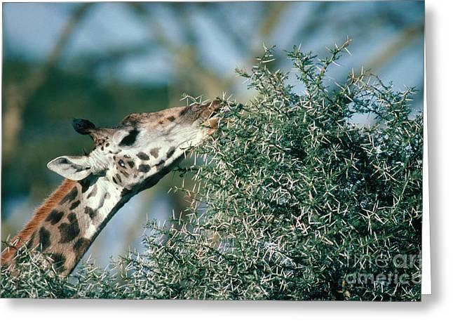 Giraffe Eating Acacia Greeting Card by Gregory G. Dimijian, M.D.