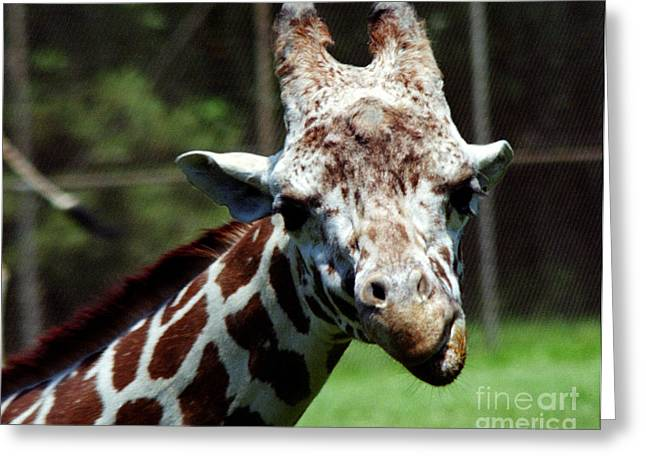 Greeting Card featuring the photograph Giraffe Looking by Tom Brickhouse