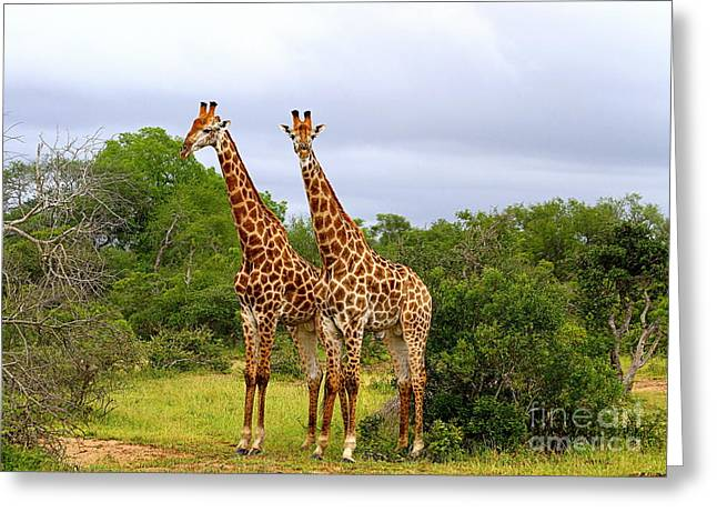 Giraffe Males Before The Storm Greeting Card