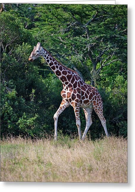 Giraffe, Mount Kenya National Park Greeting Card