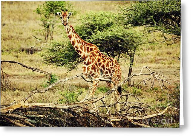 Giraffe On African Savanna Greeting Card by Michal Bednarek