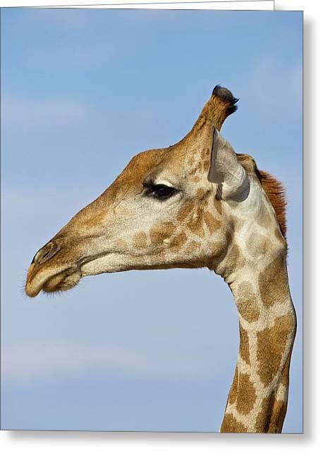 Giraffe Portrait Greeting Card by Tony Camacho