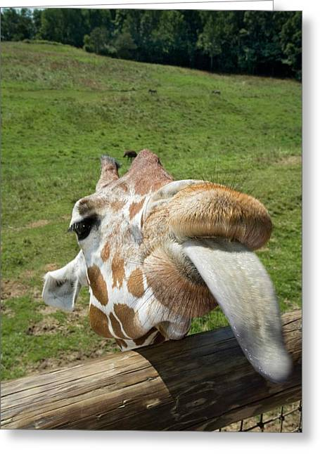Giraffe Sticking Out Its Tongue Greeting Card by Jim West