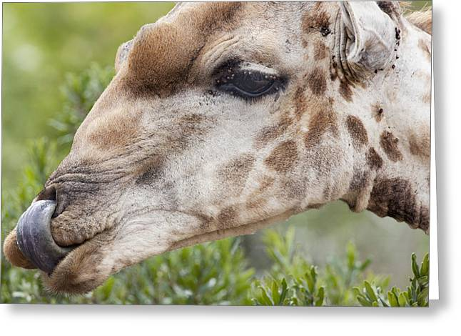 Giraffe With Tongue In Nostril Greeting Card by Sean McSweeney