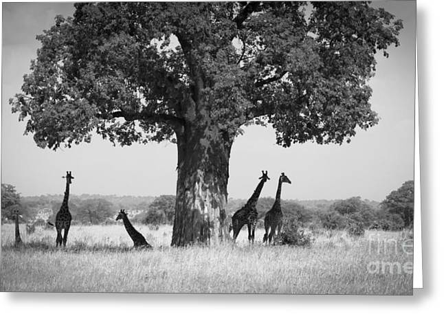 Giraffes And Baobab Tree Greeting Card by Chris Scroggins