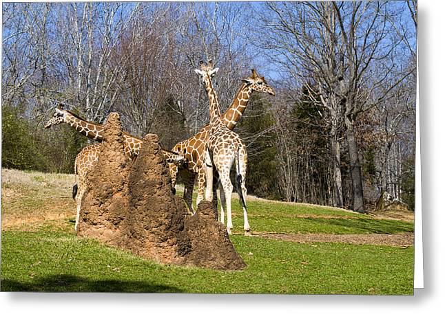 Giraffes By Termite Mound Greeting Card