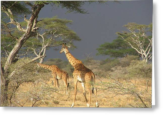 Giraffes Greeting Card by Jeff Chase