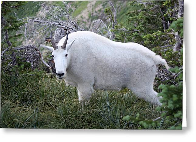 Glacier Goat Greeting Card by Carolyn Ardolino