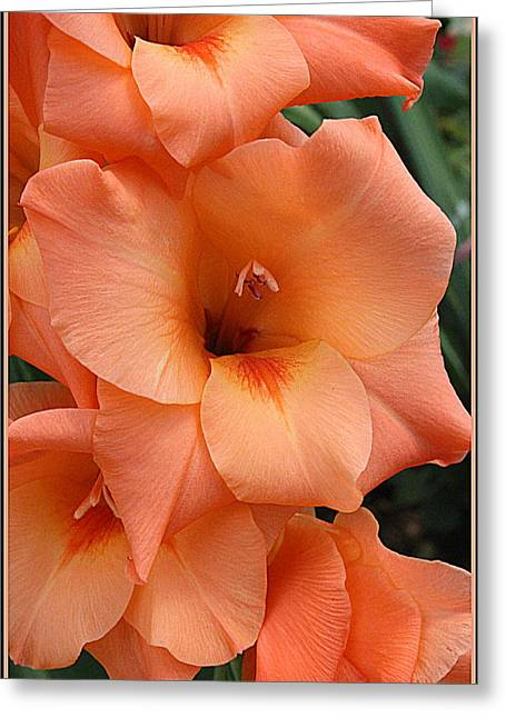 Gladiola In Peach Greeting Card