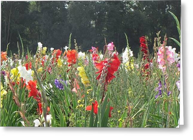 Gladiolus Field Greeting Card by Wello Karron