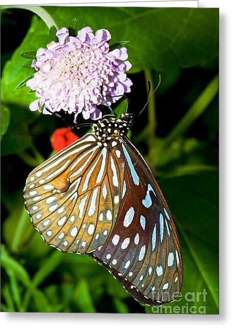 Glassy Blue Tiger Butterfly Greeting Card