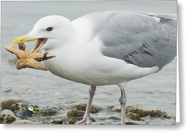 Glaucous-winged Gull Eating A Seastar Greeting Card by Kevin Schafer